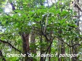 Mauricif, Byrsonima spicata, Papaye