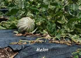 melon, TGT2, grande terre, guadeloupe