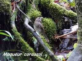 Moqueur corossol, Margarops fuscatus,