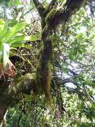 mousses épiphytes, trace V Hugues, B Terre