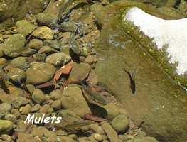 Mulets, Galbas