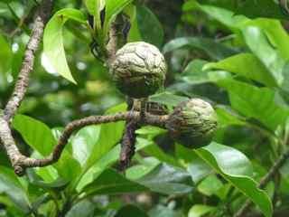 fiche arbre foret humide antilles