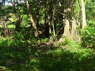 Pterocarpus officinalis rivière audoin moule grande terre guadeloupe