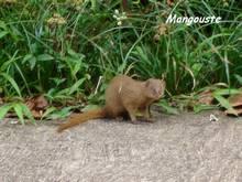 mangouste, Herpestes aurapunctatus, mammifere foret seche, ecosysteme tropiacl, guadeloupe, antilles