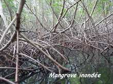 mangrove, ecosysteme, tropical, guadeloupe, antilles
