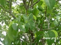 balade barre de cadoue , arbre, foret seche , grande terre guadeloupe