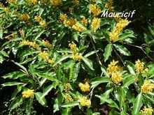 mauricif, Byrsonima spicata, terre de bas, arbre, les saintes, iles guadeloupe, antilles