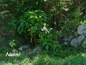 nonni, arbuste TGT1, grande terre