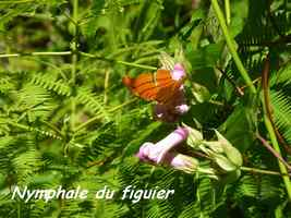 papillon , nymphale, tete allegre, basse terre nord, guadeloupe