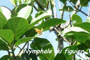 Nymphale, tete allegre, Basse terre nord, guadeloupe