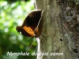 papillon, nymphale bois canon, Riv Vx habitants, gaudeloupe
