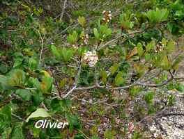 olivier , Byrsonima lucida, anse laborde