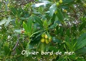 olivier bord de mer, terre de bas, Guadeloupe