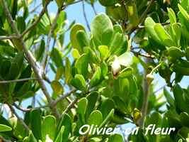 olivier fleur, Barre de cadoue
