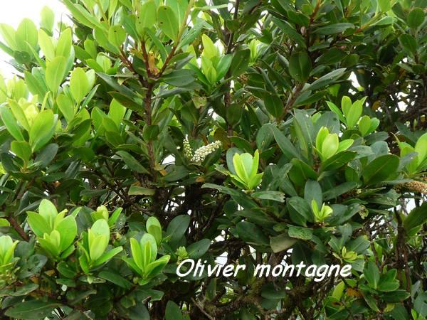 olivier montagne, nez cassé L