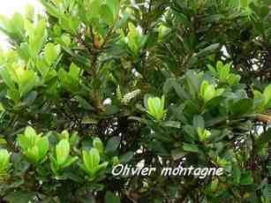olivier montagne , arbuste, nez cassé, basse terre, guadeloupe