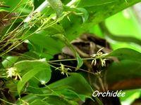 orchidée , Pleurothallys, madeleine, basse terre sud, guadeloupe