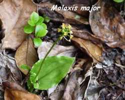 Orchidée, Malaxis major,Trace des Poteaux