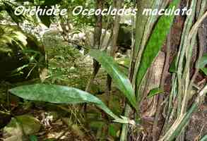 orchidée, Oceoclades maculata, Ferry, Deshaies