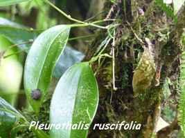 Orchidée, Pleurothallis, Trace des Poteaux