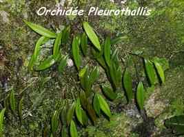 Pleurothallis, Orchidée, Piton de Bouillante