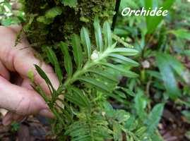 orchidée, ravine gras, petit bourg