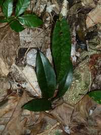 orchidéer, Riv D