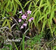 orchidée, Spathoglottis plicata, Contrebandiers, Guadeloupe