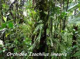 Isochilus linearis , Orchidée, Piton de Bouillante