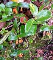 orchidée, Maxillaria inflexa, nez cassé, st claude, basse terre, guadeloupe