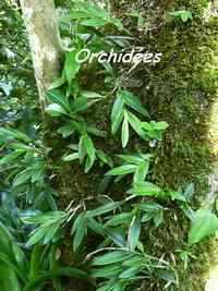 orchidée, B Argent