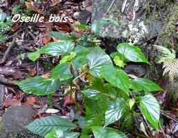 oseille bois, Begonia obliqua, morne cadet, gourbeyre