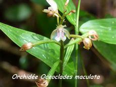 balade rivière plessis, orchidée, basse terre, guadeloupe, antilles