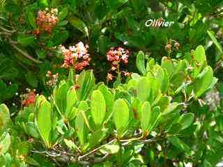 arbuste foret seche, balade, barre de cadoue, grande terre, guadeloupe