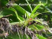 balade, rivière grosse corde, orchidée, basse terre, guadeloupe, antilles