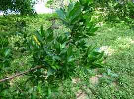 palétuvier gris, Conocarpus erectus, port louis, grande terre, guadeloupe