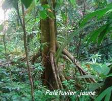 palétuvier jaune, Symphonia globulifera, arbre, trace 36 mois, ste rose, bass terre, guadeloupe