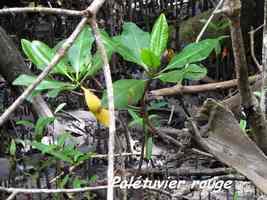 Palétuvier rouge, Rhizophora mangle, Pointe à Bacchus