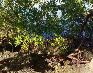 palétuvier, babin vx Bourg Guadeloupe