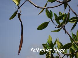 palétuvier rouge, ravine NW Moule