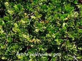palétuvier gris, arbuste, TGT5, grande terre, guadeloupe