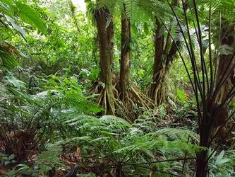 paletuviers jaunes grand Etang Basse terre Guadeloupe