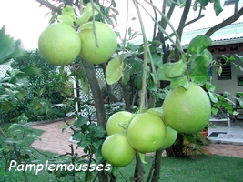 pamplemoussier arbre jardins Guadeloupe