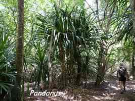 Pandanus, Littoral Deshaies