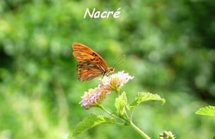 Agraulis vanillae, Papillon, Grande Pointe