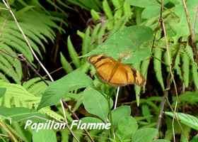 Papillon Flamme, Dryas iulia , Contrebandiers, Guadeloupe