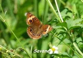 Junonia evarete, papillon , Grande Pointe
