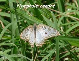 Anartia jatrophae inermedia, Nymphale cendré, Lac de Gaschet