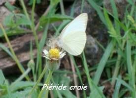 Papillon Piéride craie, Ascia monuste virginia, Littoral Deshaies