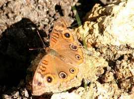 papillon port louis grande terre guadeloupe